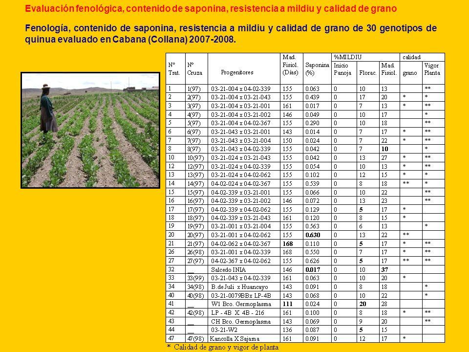 Evaluación fenológica, contenido de saponina, resistencia a mildiu y calidad de grano