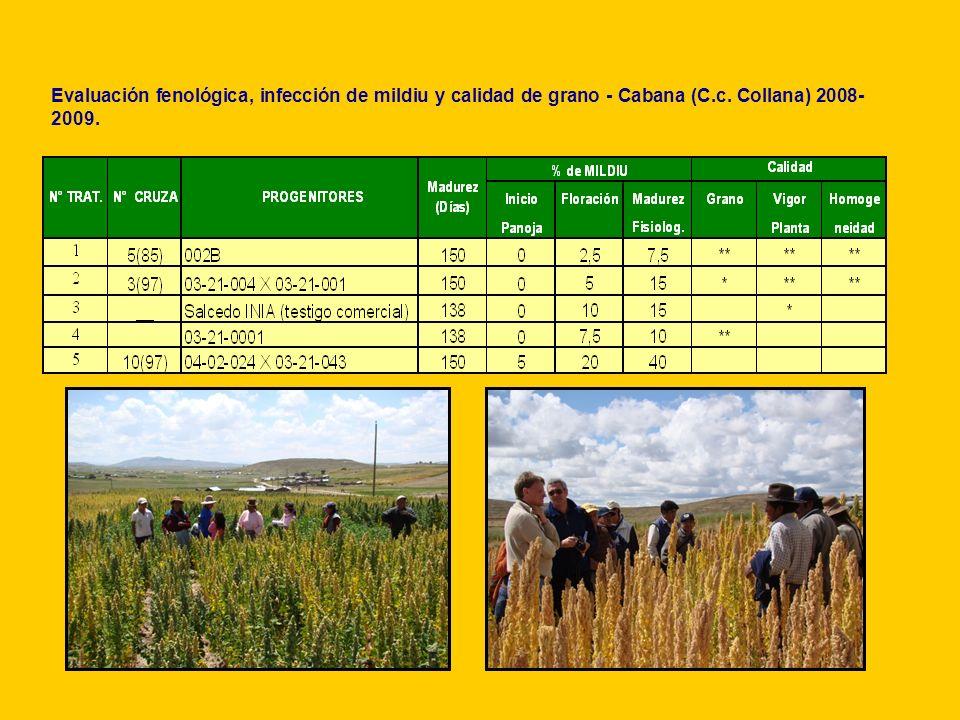 Evaluación fenológica, infección de mildiu y calidad de grano - Cabana (C.c. Collana) 2008-2009.