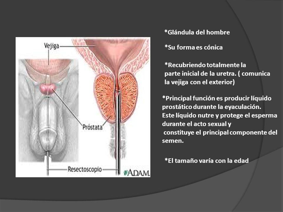 *Glándula del hombre *Su forma es cónica. *Recubriendo totalmente la. parte inicial de la uretra. ( comunica.