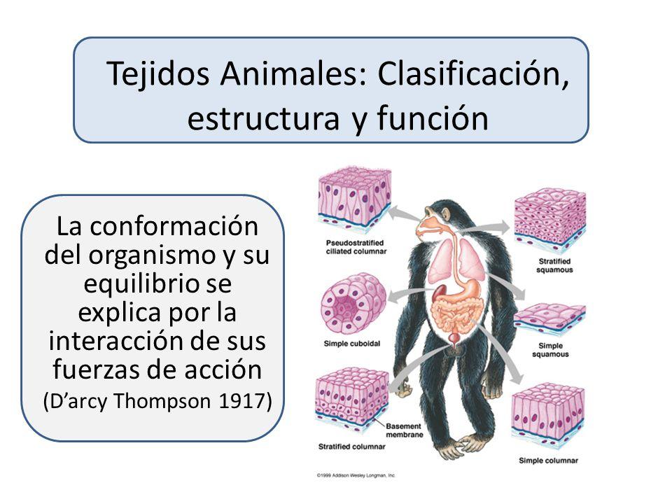 Tejidos Animales: Clasificación, estructura y función
