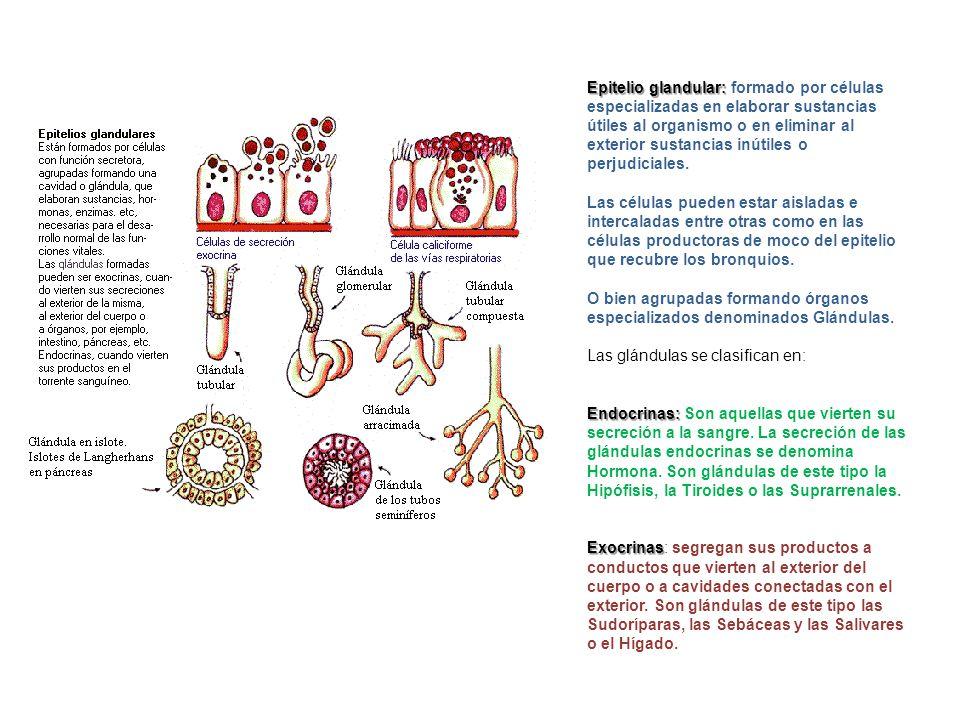 Epitelio glandular: formado por células especializadas en elaborar sustancias útiles al organismo o en eliminar al exterior sustancias inútiles o perjudiciales.
