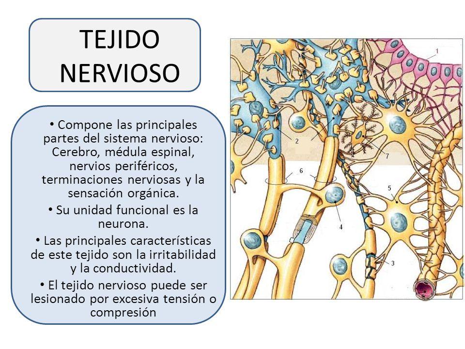 Su unidad funcional es la neurona.