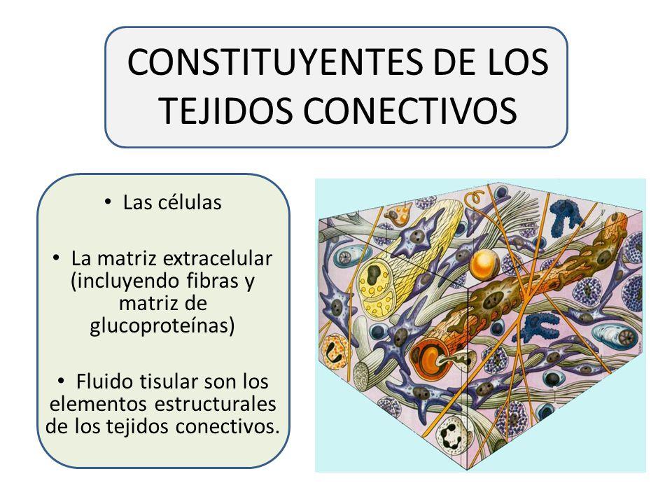 CONSTITUYENTES DE LOS TEJIDOS CONECTIVOS