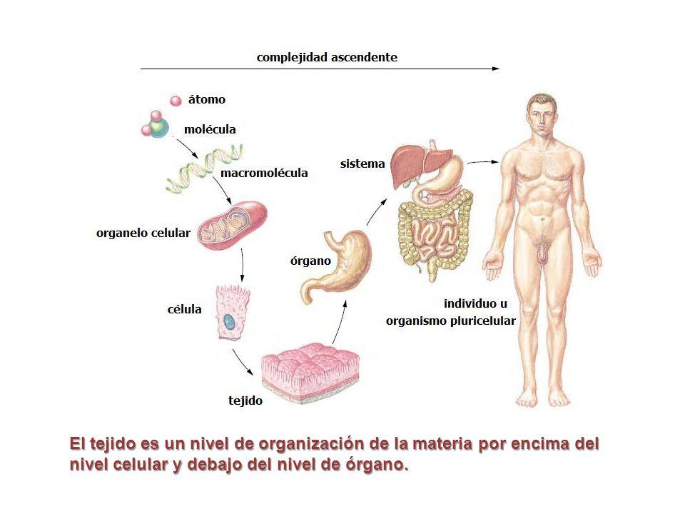 El tejido es un nivel de organización de la materia por encima del nivel celular y debajo del nivel de órgano.