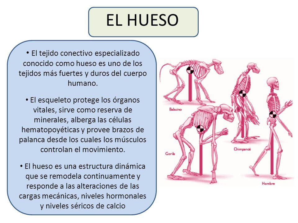 EL HUESO El tejido conectivo especializado conocido como hueso es uno de los tejidos más fuertes y duros del cuerpo humano.