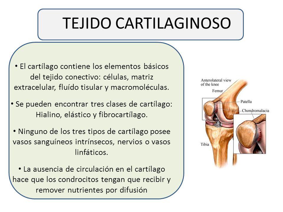 TEJIDO CARTILAGINOSO El cartílago contiene los elementos básicos del tejido conectivo: células, matriz extracelular, fluído tisular y macromoléculas.