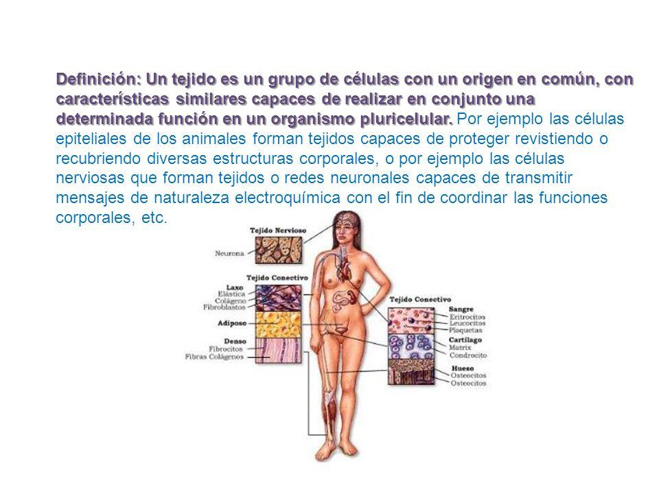 Definición: Un tejido es un grupo de células con un origen en común, con características similares capaces de realizar en conjunto una determinada función en un organismo pluricelular.