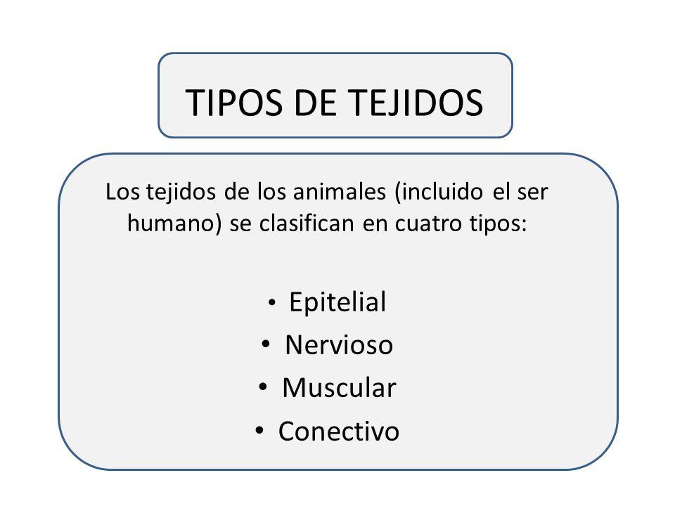 TIPOS DE TEJIDOS Nervioso Muscular Conectivo