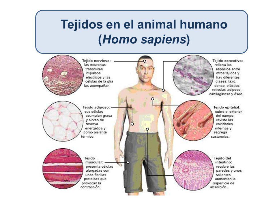 Tejidos en el animal humano (Homo sapiens)