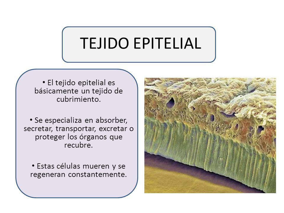 TEJIDO EPITELIAL El tejido epitelial es básicamente un tejido de cubrimiento.