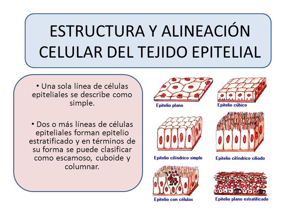 ESTRUCTURA Y ALINEACIÓN CELULAR DEL TEJIDO EPITELIAL