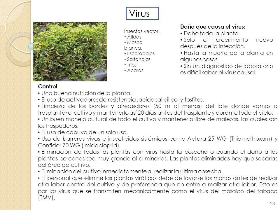 Virus Daño que causa el virus: Daño toda la planta.