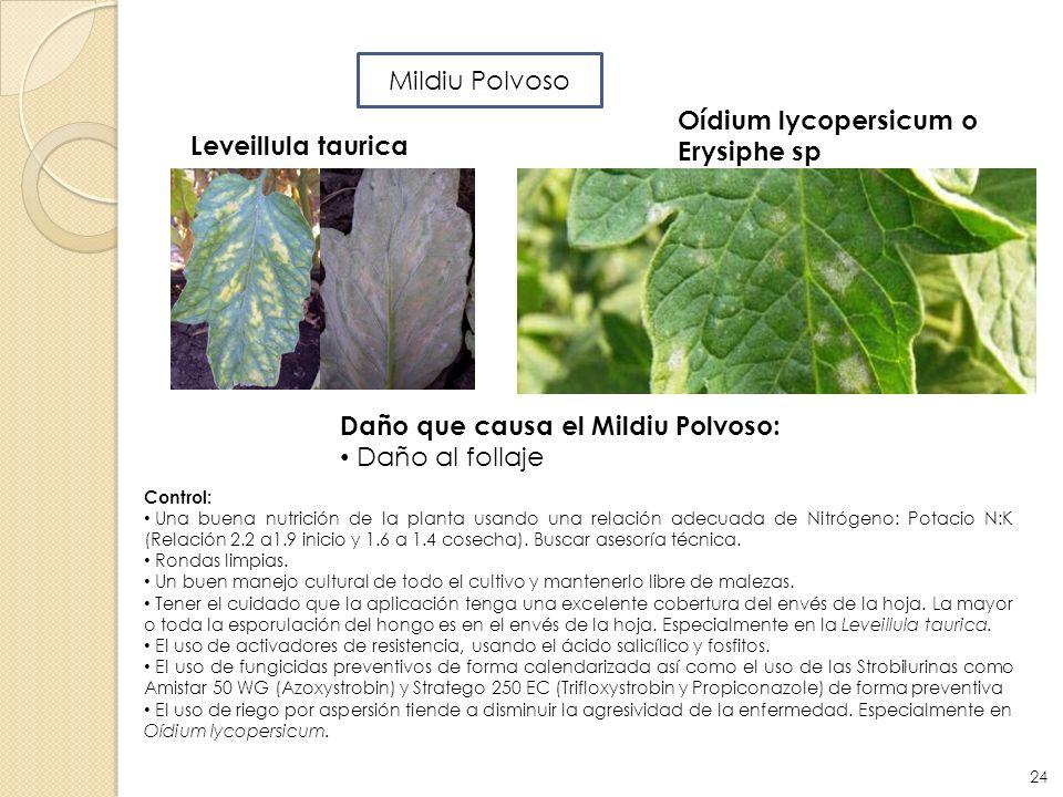 Daño que causa el Mildiu Polvoso: Daño al follaje Leveillula taurica