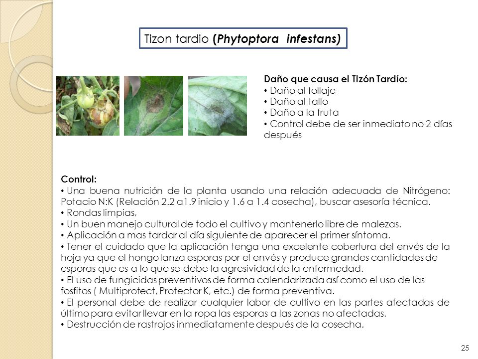 Tizon tardio (Phytoptora infestans)