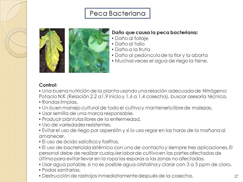 Peca Bacteriana Daño que causa la peca bacteriana: Daño al follaje