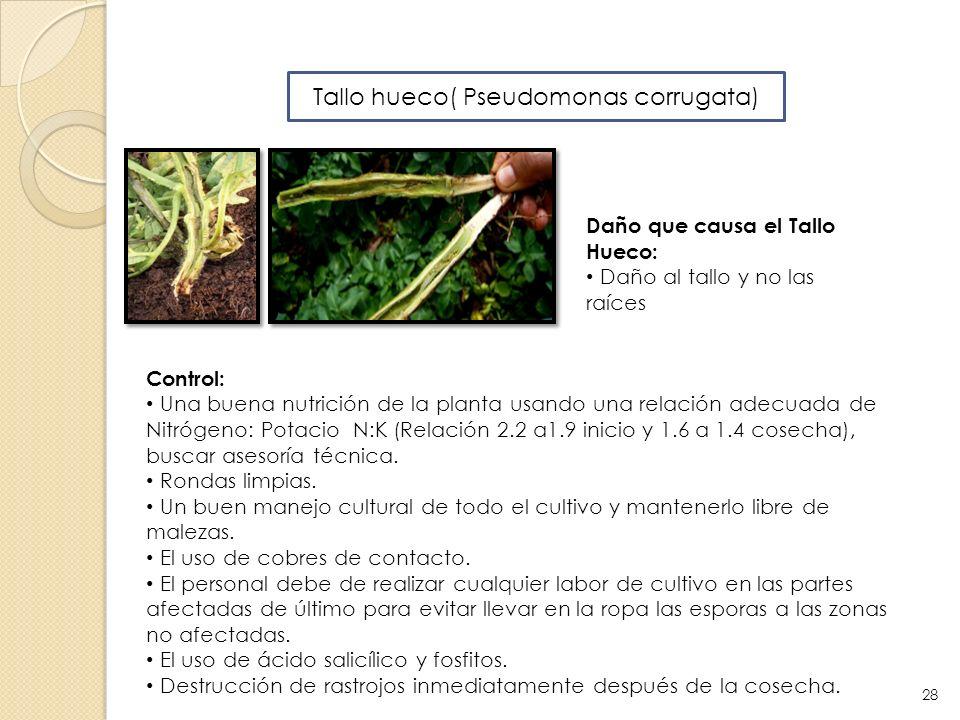 Tallo hueco( Pseudomonas corrugata)