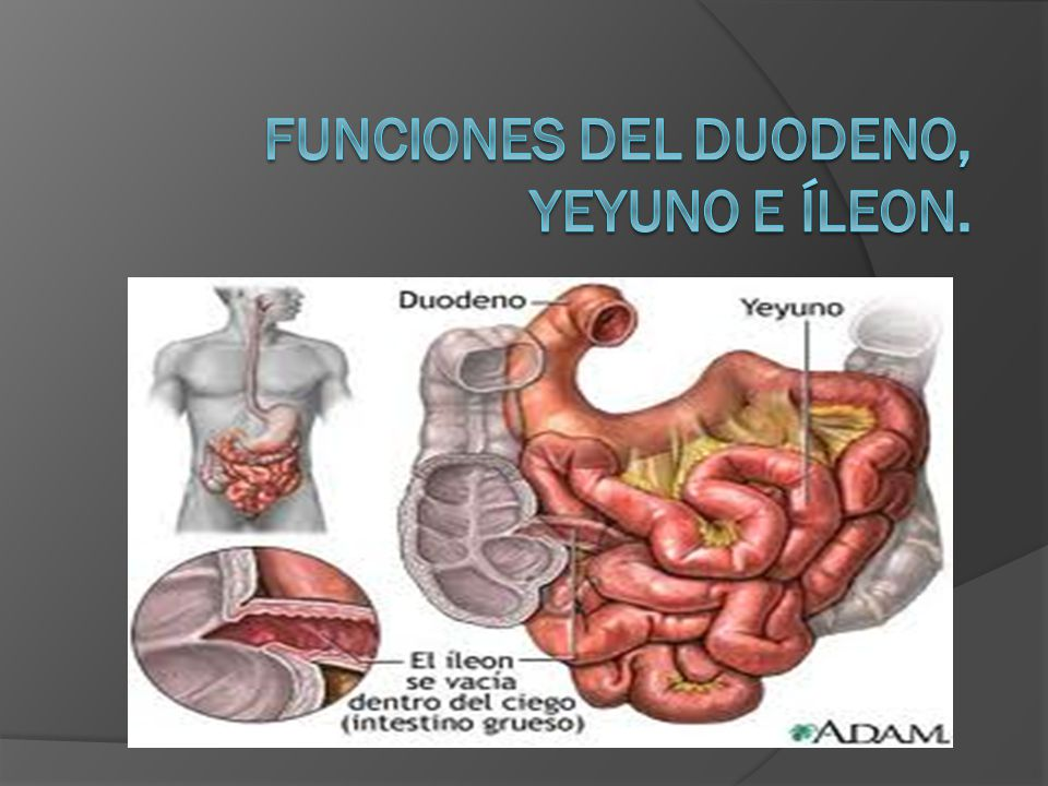 Funciones del duodeno, yeyuno e íleon. - ppt video online descargar