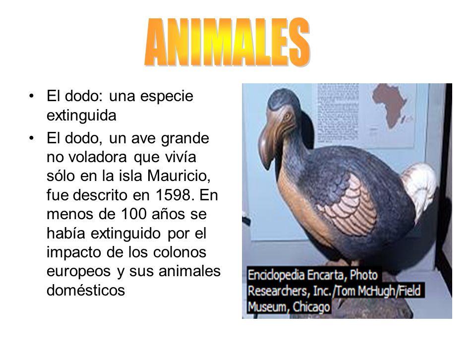 ANIMALES El dodo: una especie extinguida