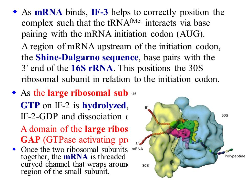 As the large ribosomal subunit joins the complex,