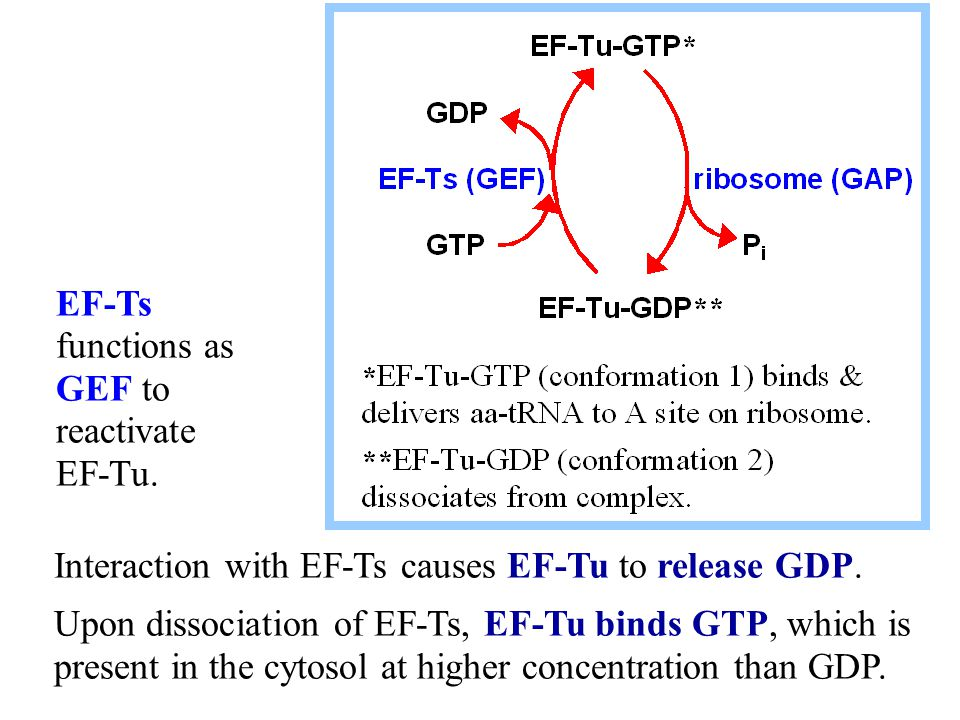 EF-Ts functions as GEF to reactivate EF-Tu.