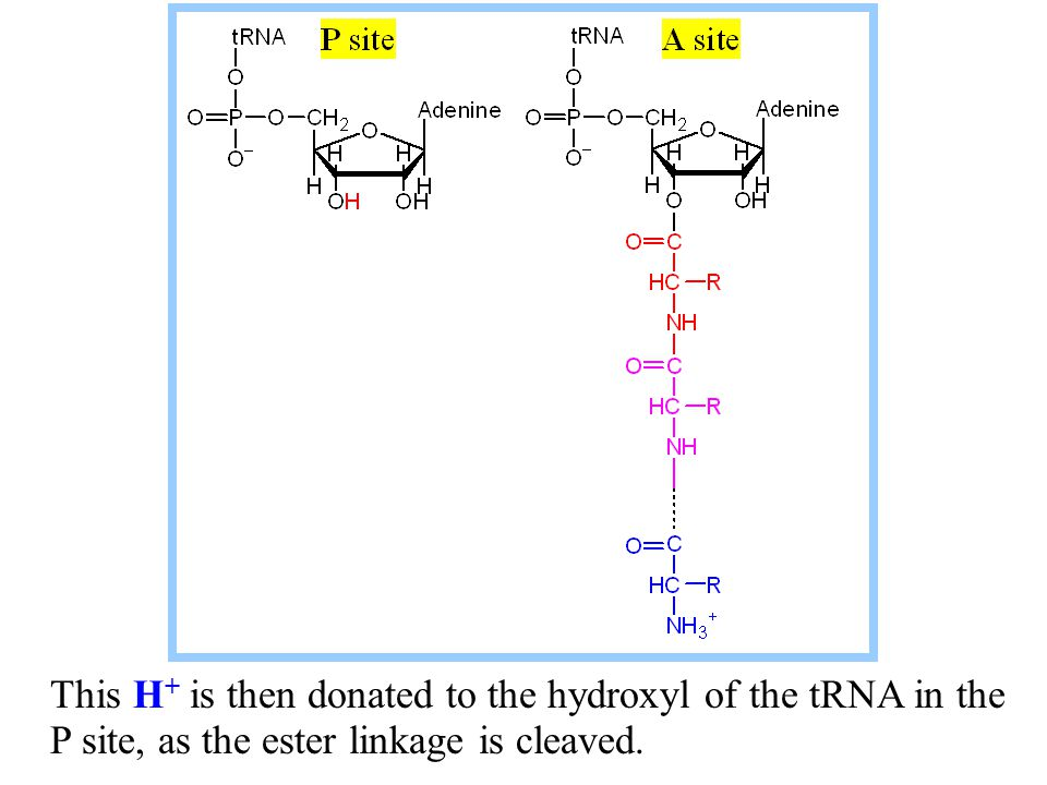This H+ is then donated to the hydroxyl of the tRNA in the P site, as the ester linkage is cleaved.