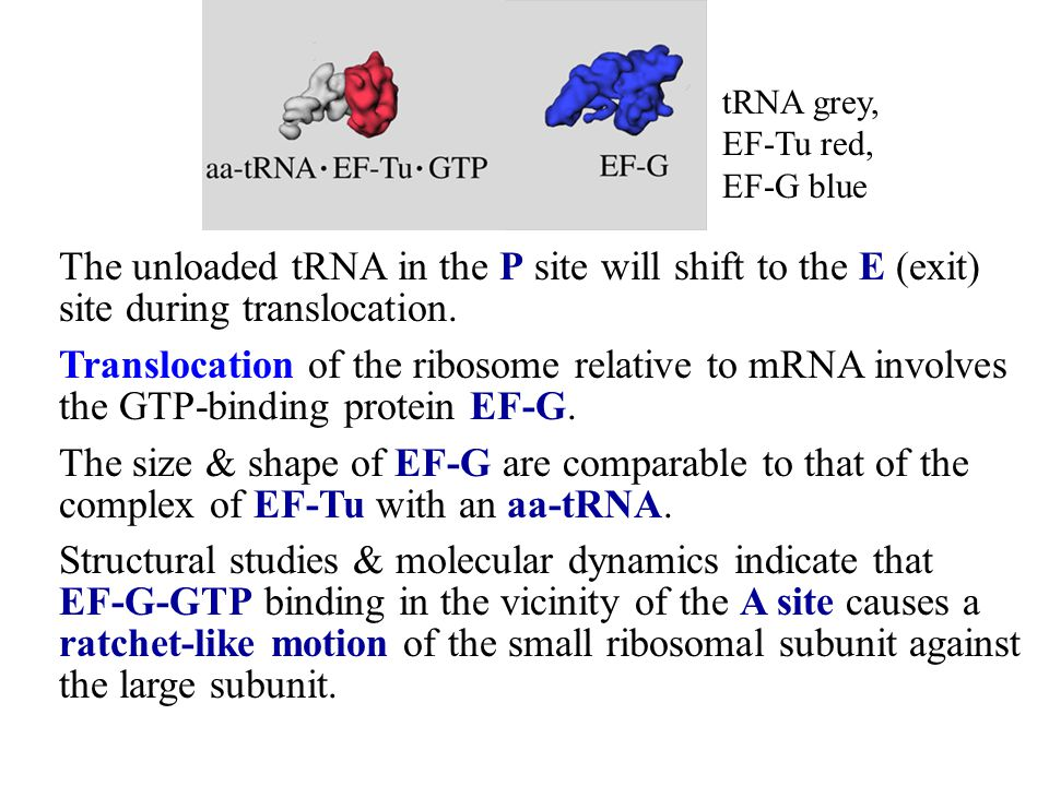 tRNA grey, EF-Tu red, EF-G blue