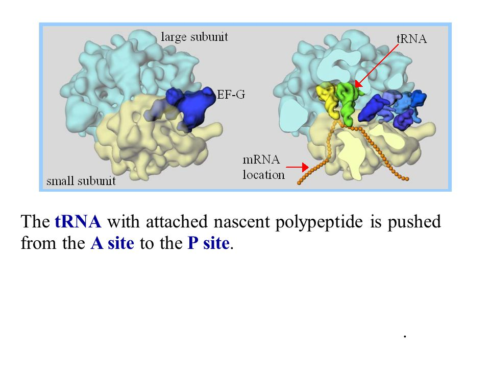 The tRNA with attached nascent polypeptide is pushed from the A site to the P site.