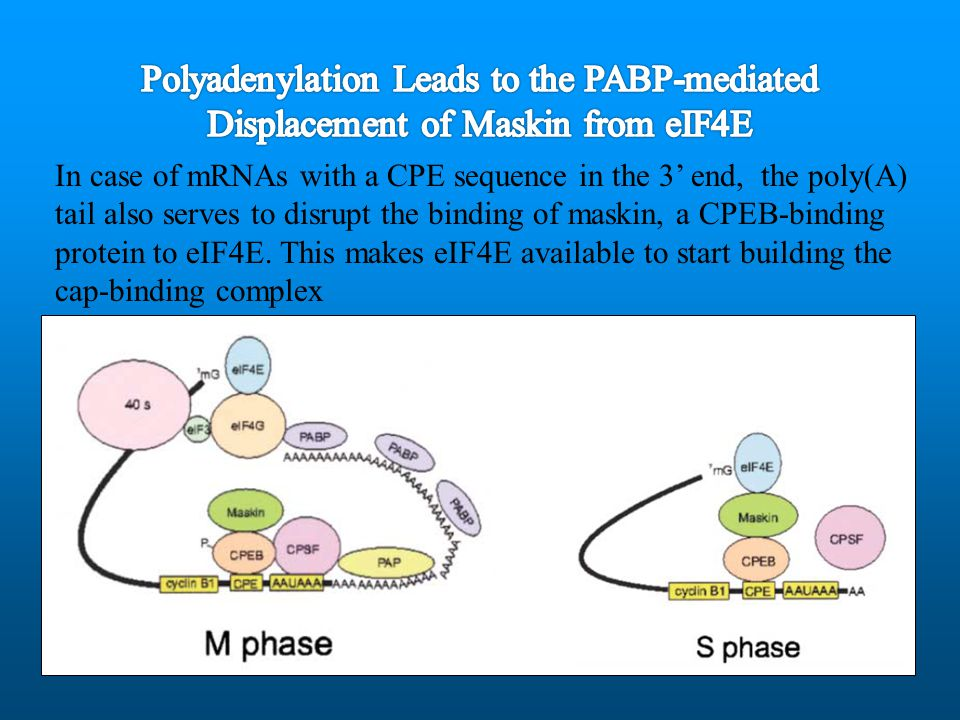 Polyadenylation Leads to the PABP-mediated Displacement of Maskin from eIF4E