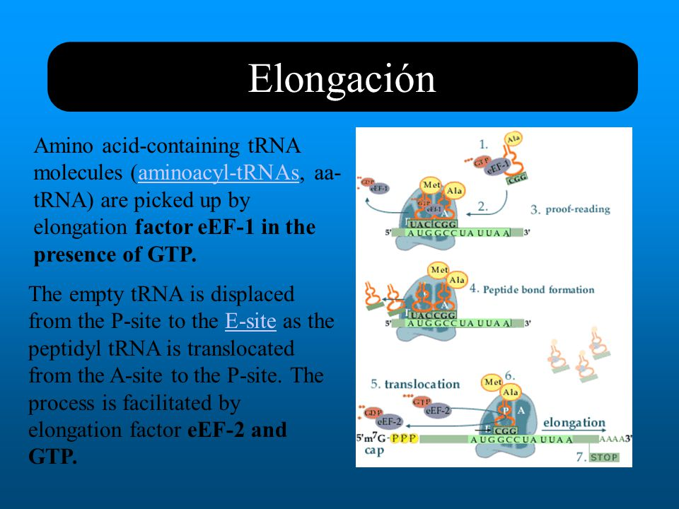 Elongación Amino acid-containing tRNA molecules (aminoacyl-tRNAs, aa-tRNA) are picked up by elongation factor eEF-1 in the presence of GTP.