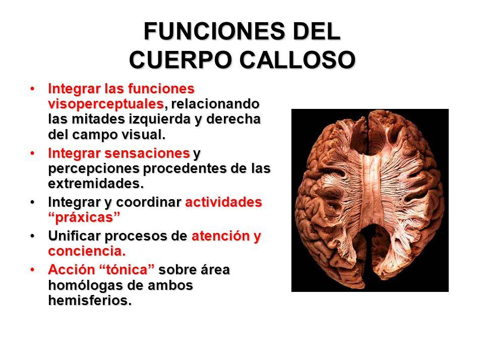 Hermosa La Función Del Cuerpo Calloso Colección de Imágenes ...