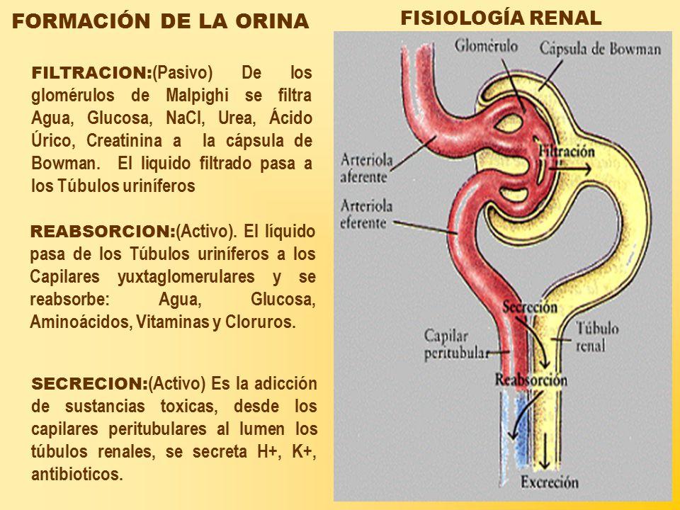 FORMACIÓN DE LA ORINA FISIOLOGÍA RENAL