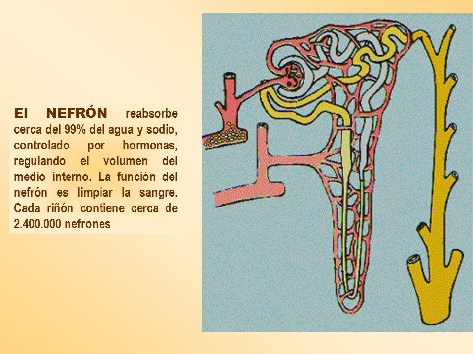 El NEFRÓN reabsorbe cerca del 99% del agua y sodio, controlado por hormonas, regulando el volumen del medio interno.