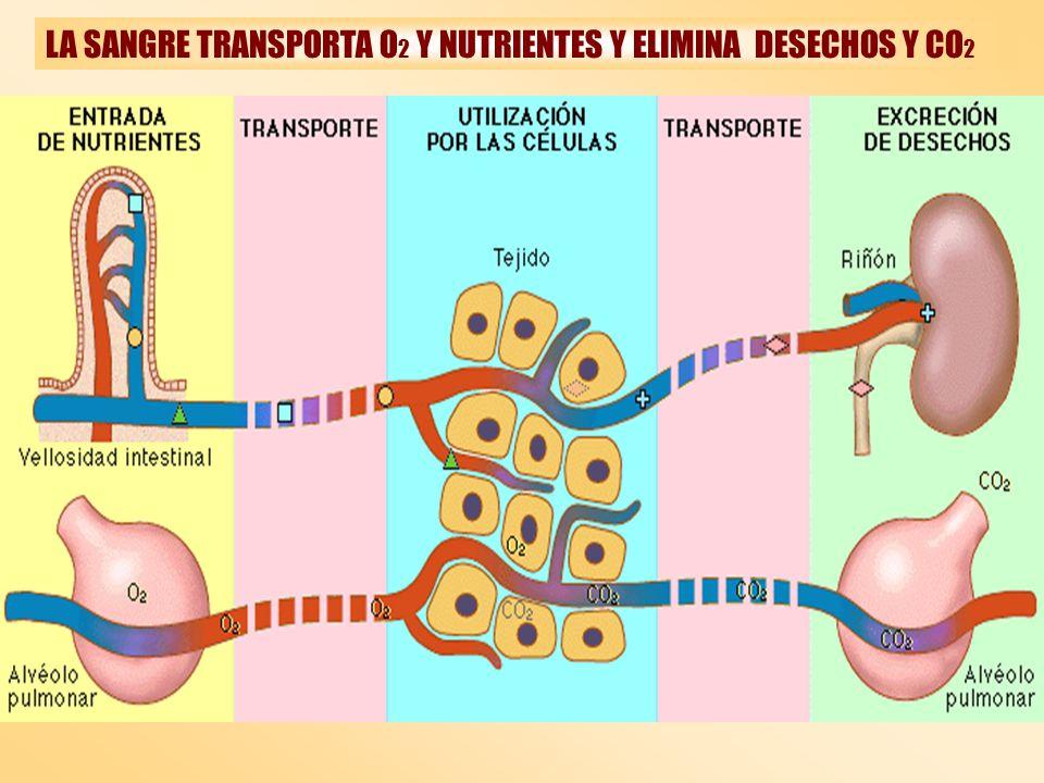 LA SANGRE TRANSPORTA O2 Y NUTRIENTES Y ELIMINA DESECHOS Y CO2