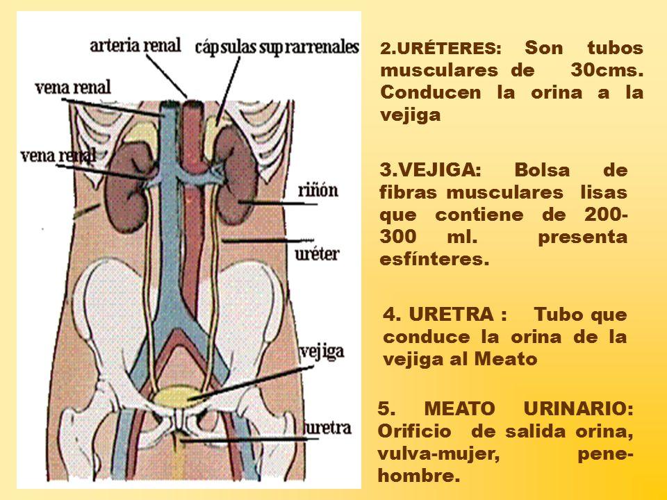 4. URETRA : Tubo que conduce la orina de la vejiga al Meato