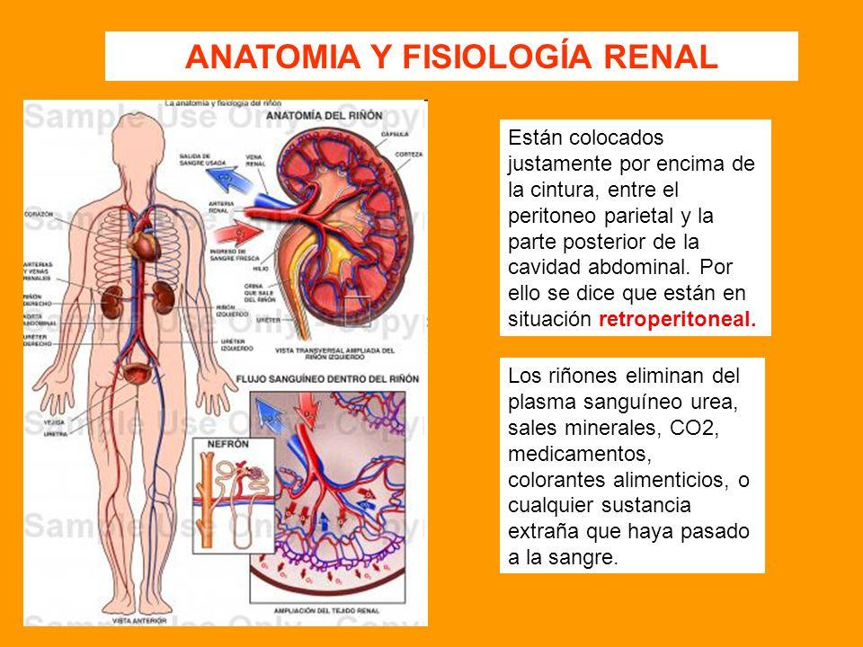 Increíble Anatomía Y Fisiología Del Riñón Humano Patrón - Anatomía ...