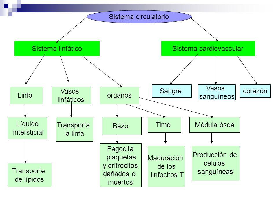 Lujo El Sistema Sanguíneo Anatomía Y Fisiología Composición ...