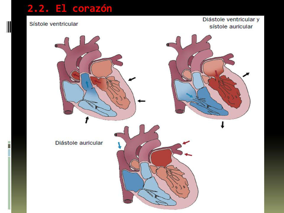 2.2. El corazón