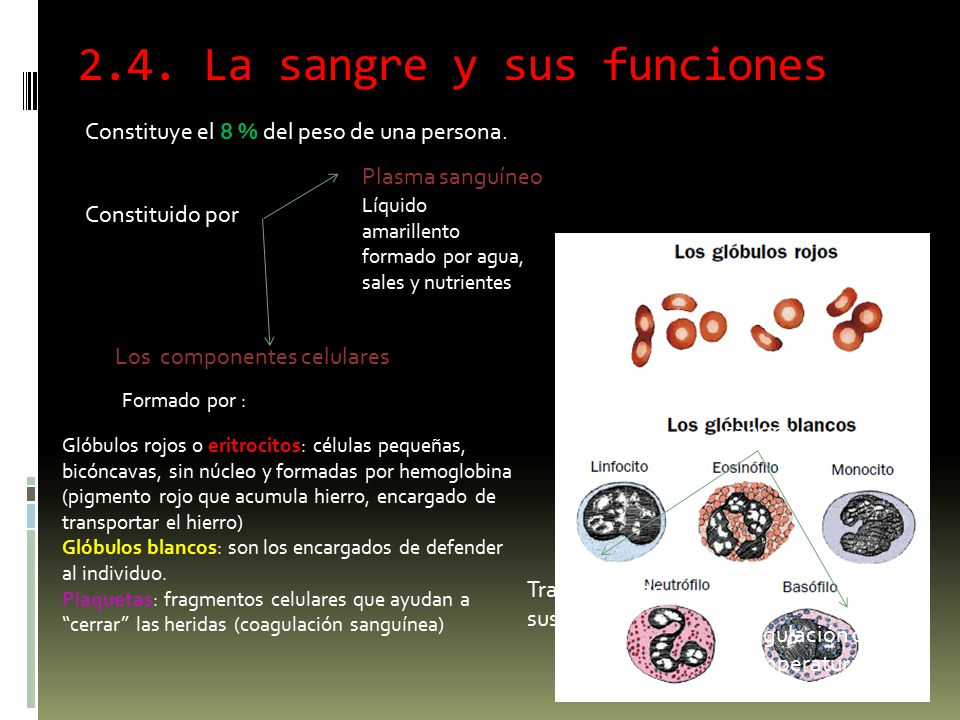 2.4. La sangre y sus funciones