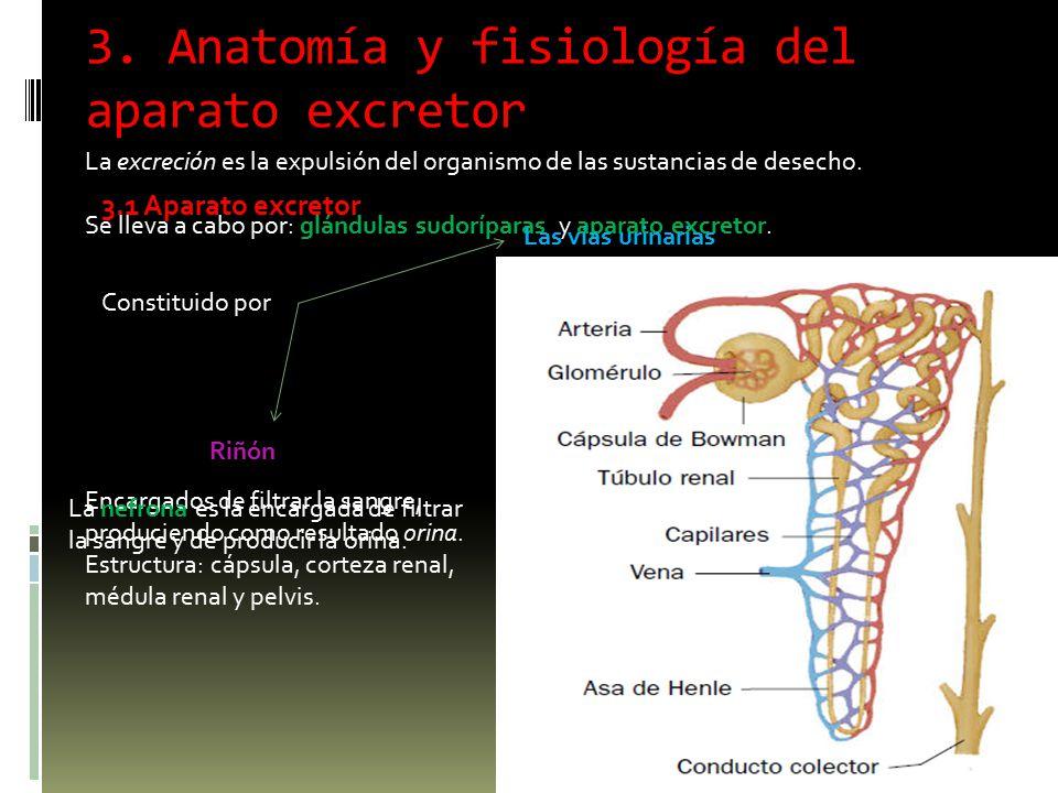 3. Anatomía y fisiología del aparato excretor