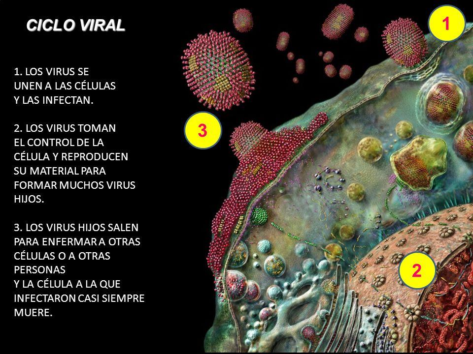 1 3 2 CICLO VIRAL LOS VIRUS SE UNEN A LAS CÉLULAS Y LAS INFECTAN.