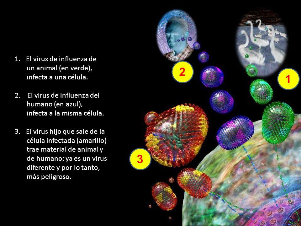 2 1 3 El virus de influenza de un animal (en verde),