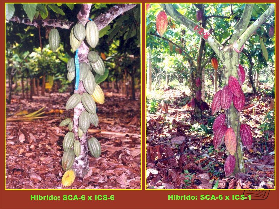 Hibrido: SCA-6 x ICS-6 Hibrido: SCA-6 x ICS-1