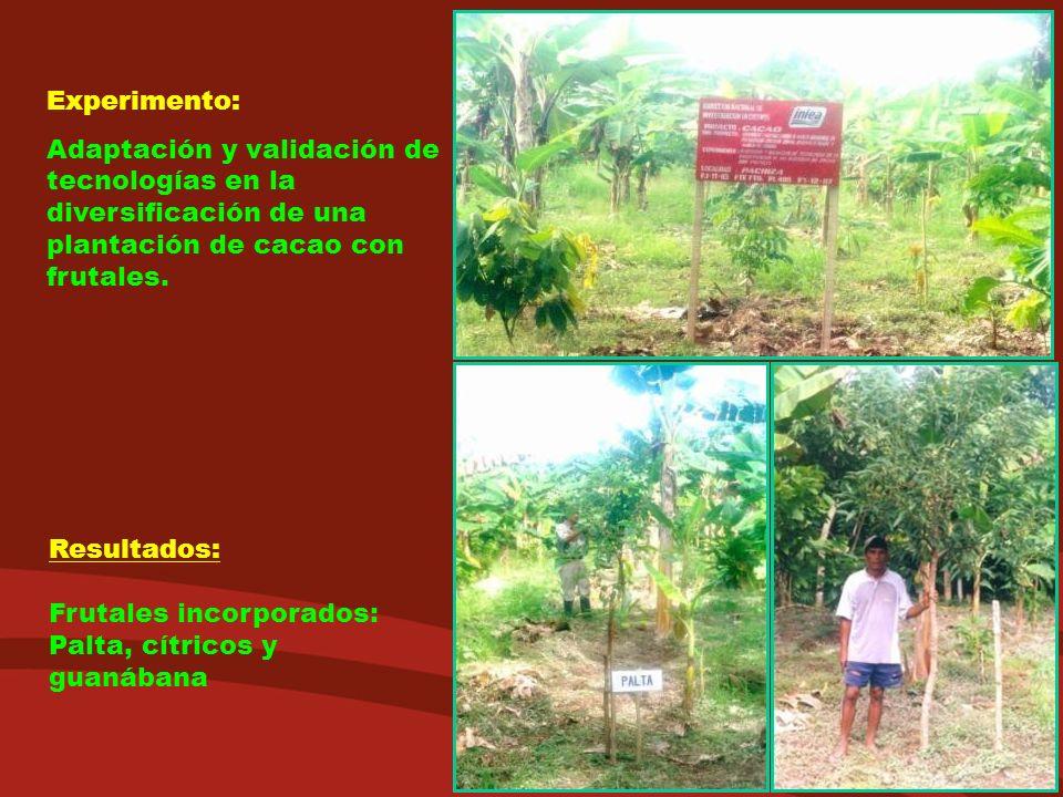 Experimento: Adaptación y validación de tecnologías en la diversificación de una plantación de cacao con frutales.