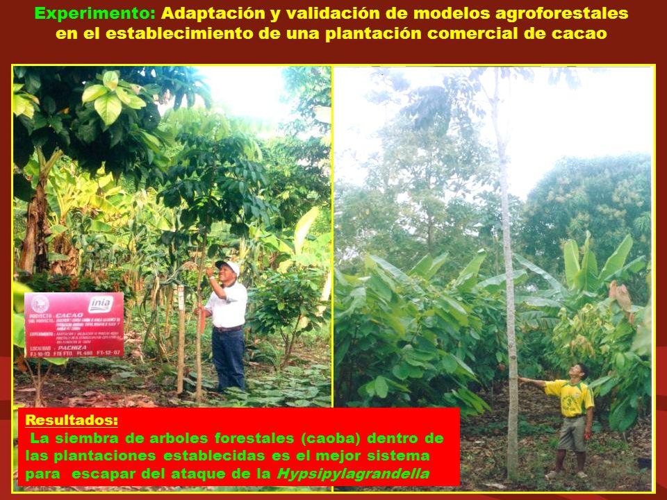 Experimento: Adaptación y validación de modelos agroforestales en el establecimiento de una plantación comercial de cacao