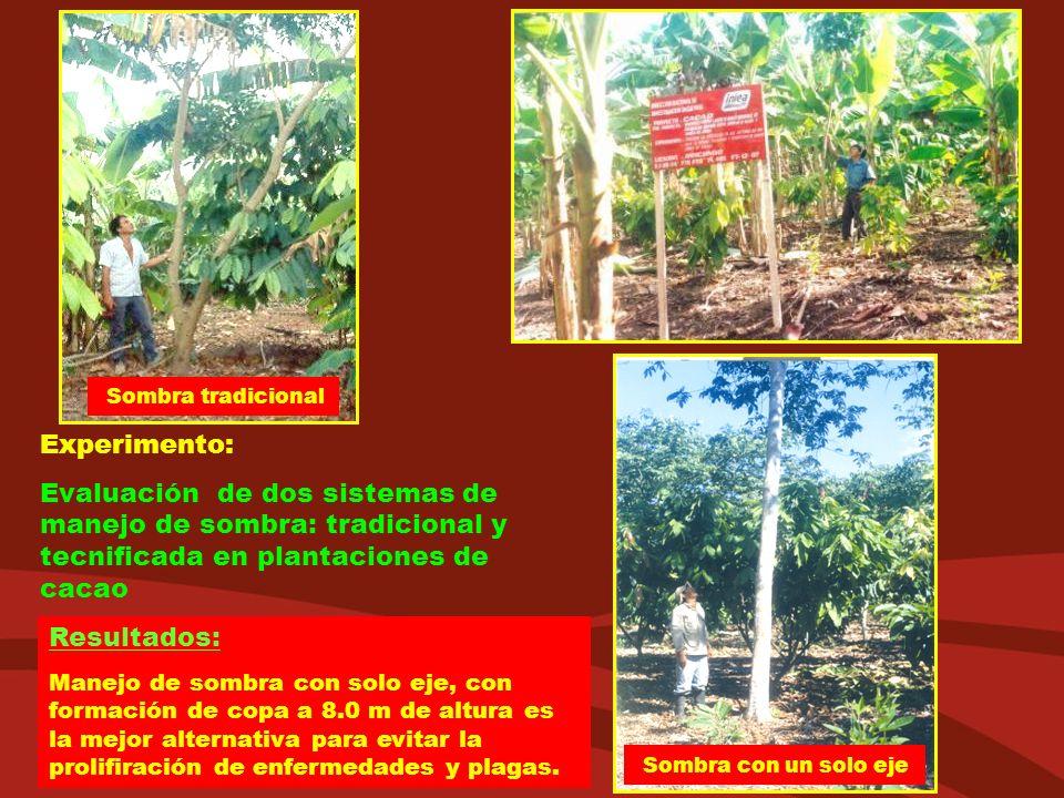 Sombra tradicional Experimento: Evaluación de dos sistemas de manejo de sombra: tradicional y tecnificada en plantaciones de cacao.