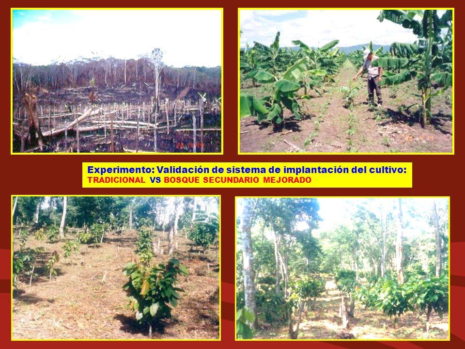 Experimento: Validación de sistema de implantación del cultivo: TRADICIONAL VS BOSQUE SECUNDARIO MEJORADO