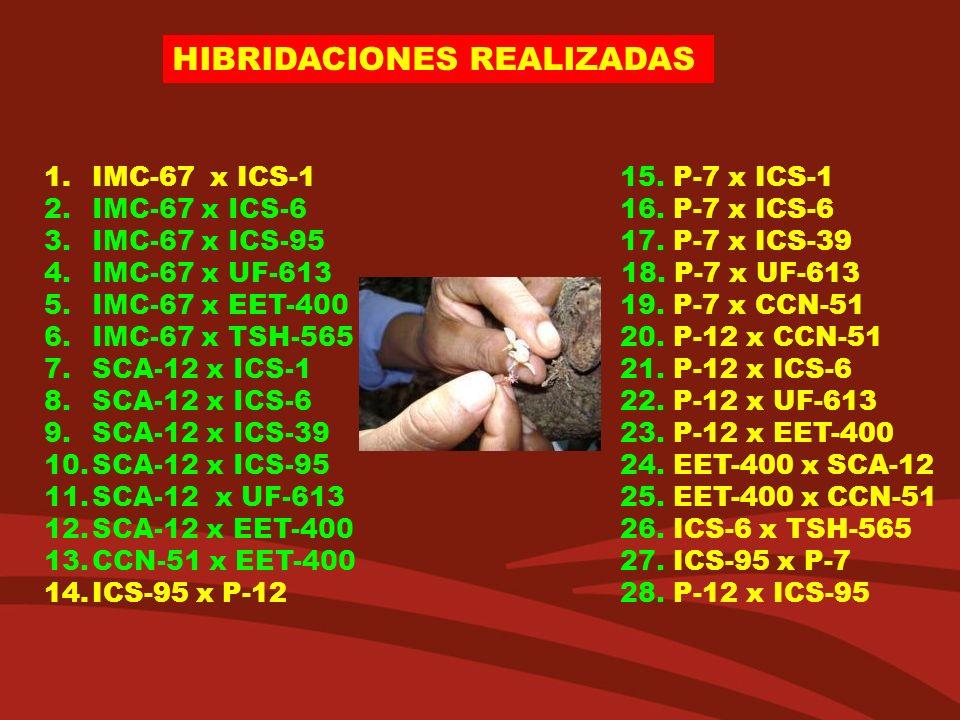 HIBRIDACIONES REALIZADAS