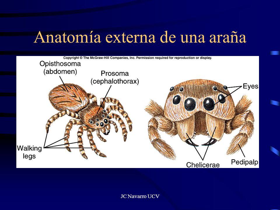 Atractivo Anatomía Externa De Una Araña Cresta - Imágenes de ...