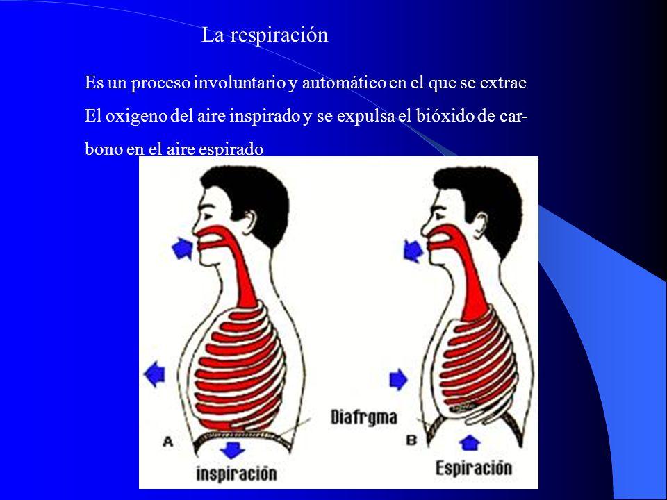 La respiración Es un proceso involuntario y automático en el que se extrae. El oxigeno del aire inspirado y se expulsa el bióxido de car-