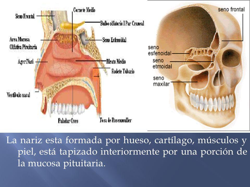 Dorable Hueso De La Nariz Ideas - Imágenes de Anatomía Humana ...